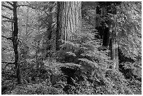 Forest, July Creek,. Olympic National Park ( black and white)