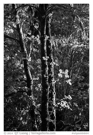 Backlit maple trees, July Creek. Olympic National Park (black and white)