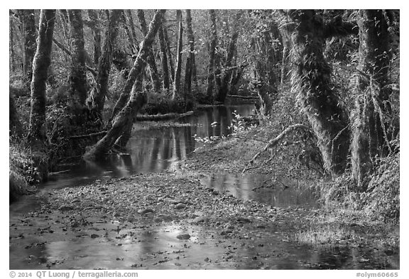 Creek, Maple Glades, Quinault. Olympic National Park (black and white)