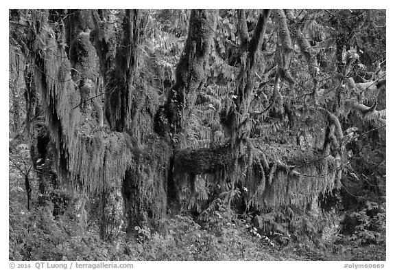 Draping Selaginella moss over big leaf maple, Maple Glades, Quinault. Olympic National Park (black and white)