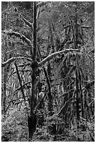 Rain forest, Maple Glades, Quinault. Olympic National Park ( black and white)