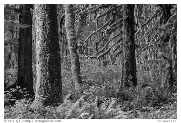 Ferns and moss-covered trees, Maple Glades. Olympic National Park (black and white)
