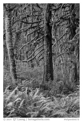 Ferns and moss-covered trees, Quinault. Olympic National Park (black and white)