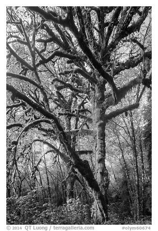 Large bigleaf maple tree. Olympic National Park (black and white)