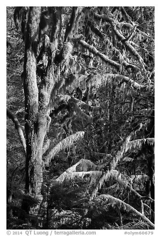 Moss-covered tree and light, Lake Quinault North Shore. Olympic National Park (black and white)