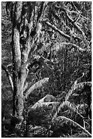 Moss-covered tree and light, Lake Quinault North Shore. Olympic National Park ( black and white)