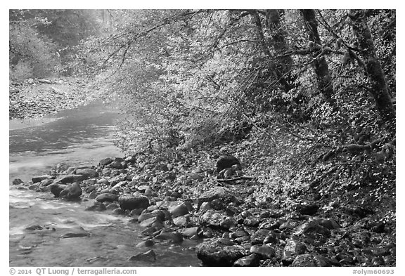 Trees in autumn foliage near Sol Duc River confluence. Olympic National Park (black and white)