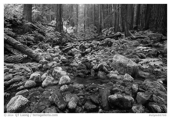 Stream flowing between mossy boulders in old growth forest. Olympic National Park (black and white)