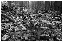 Stream flowing between mossy boulders in old growth forest. Olympic National Park ( black and white)