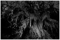 Draping club moss over big leaf maple at night, Hall of Mosses. Olympic National Park ( black and white)