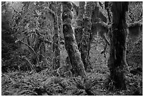 Maple grove in autumn, Hall of Mosses. Olympic National Park ( black and white)