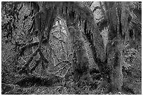 Hanging Oregon selaginella mosses over maple trees, Hall of Mosses. Olympic National Park ( black and white)