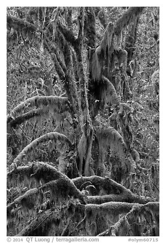 Moss-covered maples in autumn, Hall of Mosses. Olympic National Park (black and white)