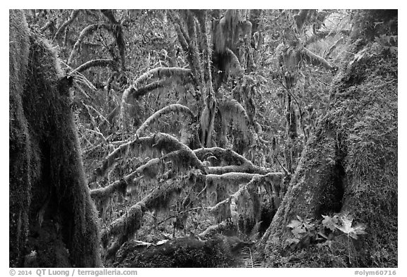 Moss-covered maple trees and fallen leaves in autumn, Hall of Mosses. Olympic National Park (black and white)