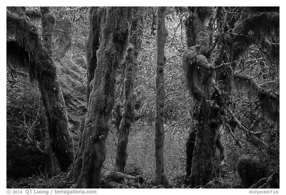 Hoh Rain Forest in autumn. Olympic National Park (black and white)