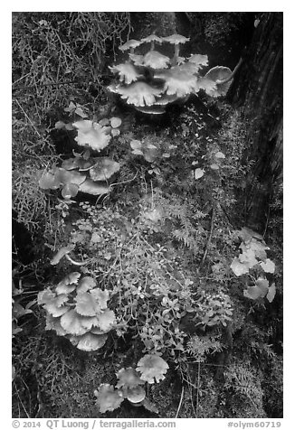Close-up of mushrooms and mosses on tree trunk. Olympic National Park (black and white)