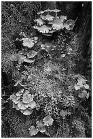 Close-up of mushrooms and mosses on tree trunk. Olympic National Park ( black and white)