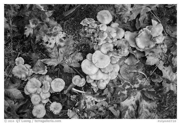 Close-up of mushrooms, Hoh Rain Forest. Olympic National Park (black and white)