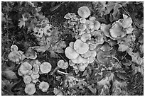 Close-up of mushrooms, Hoh Rain Forest. Olympic National Park ( black and white)