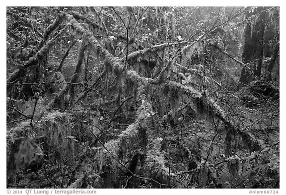 Moss-covered branches, Hoh Rain Forest. Olympic National Park (black and white)