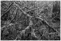 Moss-covered branches, Hoh Rain Forest. Olympic National Park ( black and white)