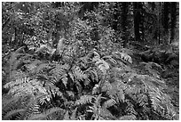 Ferns in autumn, Hoh Rain Forest. Olympic National Park ( black and white)