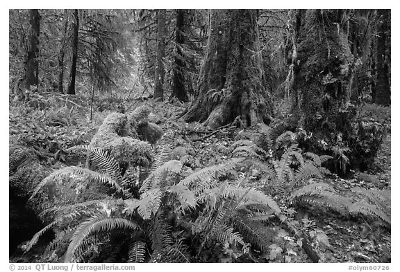 Autumn in Hoh Rain Forest. Olympic National Park (black and white)