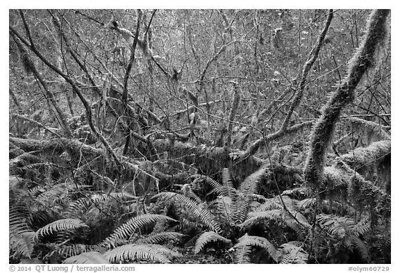 Ferns and thin branches, Hoh Rain Forest. Olympic National Park (black and white)