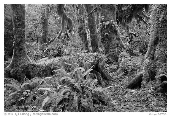 Ferns, nurse log, moss-covered maple trees, and fallen leaves, Hoh Rainforest. Olympic National Park (black and white)