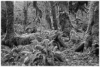 Ferns, nurse log, moss-covered maple trees, and fallen leaves, Hoh Rainforest. Olympic National Park ( black and white)