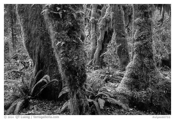 Ferns and maples covered by selaginella moss in autumn, Hall of Mosses. Olympic National Park (black and white)