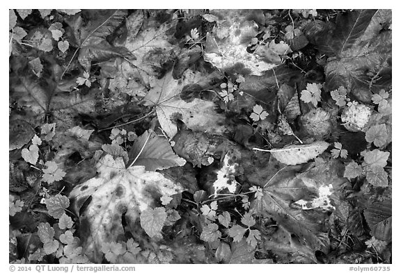 Forest floor with fallen leaves and clover, Quinault. Olympic National Park (black and white)