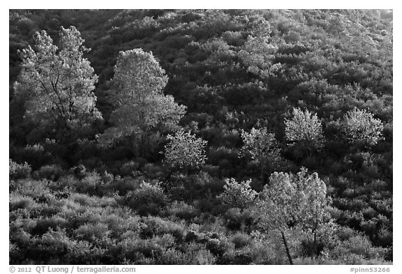 Trees on rolling chaparral shrubs. Pinnacles National Park (black and white)