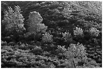 Trees on rolling chaparral shrubs. Pinnacles National Park ( black and white)