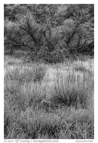 Frozen grasses and shrubs. Pinnacles National Park (black and white)