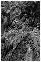 Ferns below Moses Spring. Pinnacles National Park, California, USA. (black and white)