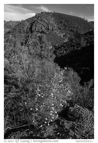 Bush in bloom and hill with rocks. Pinnacles National Park (black and white)