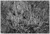 Orange flowers, branches, and cliff. Pinnacles National Park, California, USA. (black and white)