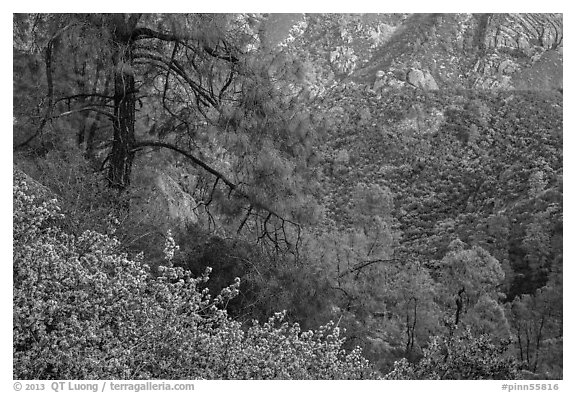 Manzanita blooms and valley with rock formations. Pinnacles National Park (black and white)