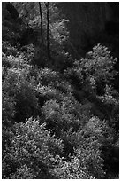 Slope with blooms in spring. Pinnacles National Park, California, USA. (black and white)