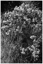 Close-up of spring blooms and grasses. Pinnacles National Park, California, USA. (black and white)