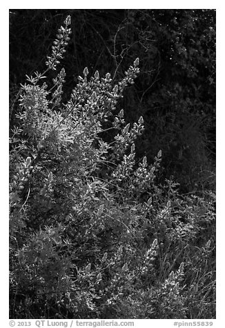 Lupine close-up. Pinnacles National Park (black and white)