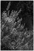 Lupine close-up. Pinnacles National Park, California, USA. (black and white)