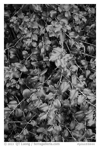 Close-up of shiny leaves. Pinnacles National Park (black and white)