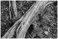 Ground close-up with fallen branch and Indian Warriors. Pinnacles National Park, California, USA. (black and white)