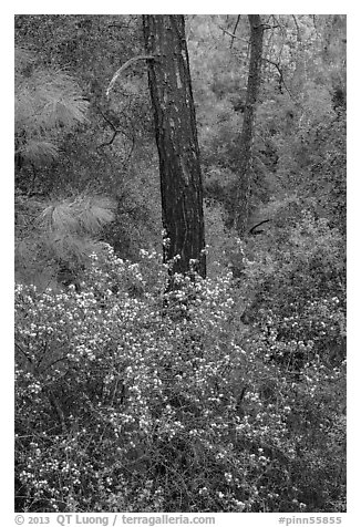 Forest with shrubs in bloom. Pinnacles National Park (black and white)