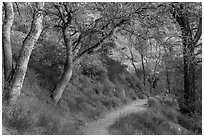 Condor Gulch Trail through oak forest. Pinnacles National Park, California, USA. (black and white)