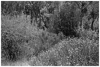 Wildflowers, shrubs, cottonwoods, in the spring. Pinnacles National Park ( black and white)