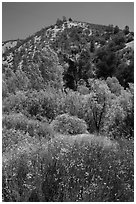 Wildflowers, trees, and hills in the hill. Pinnacles National Park, California, USA. (black and white)
