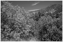 Trees blooming in the spring in valley. Pinnacles National Park, California, USA. (black and white)